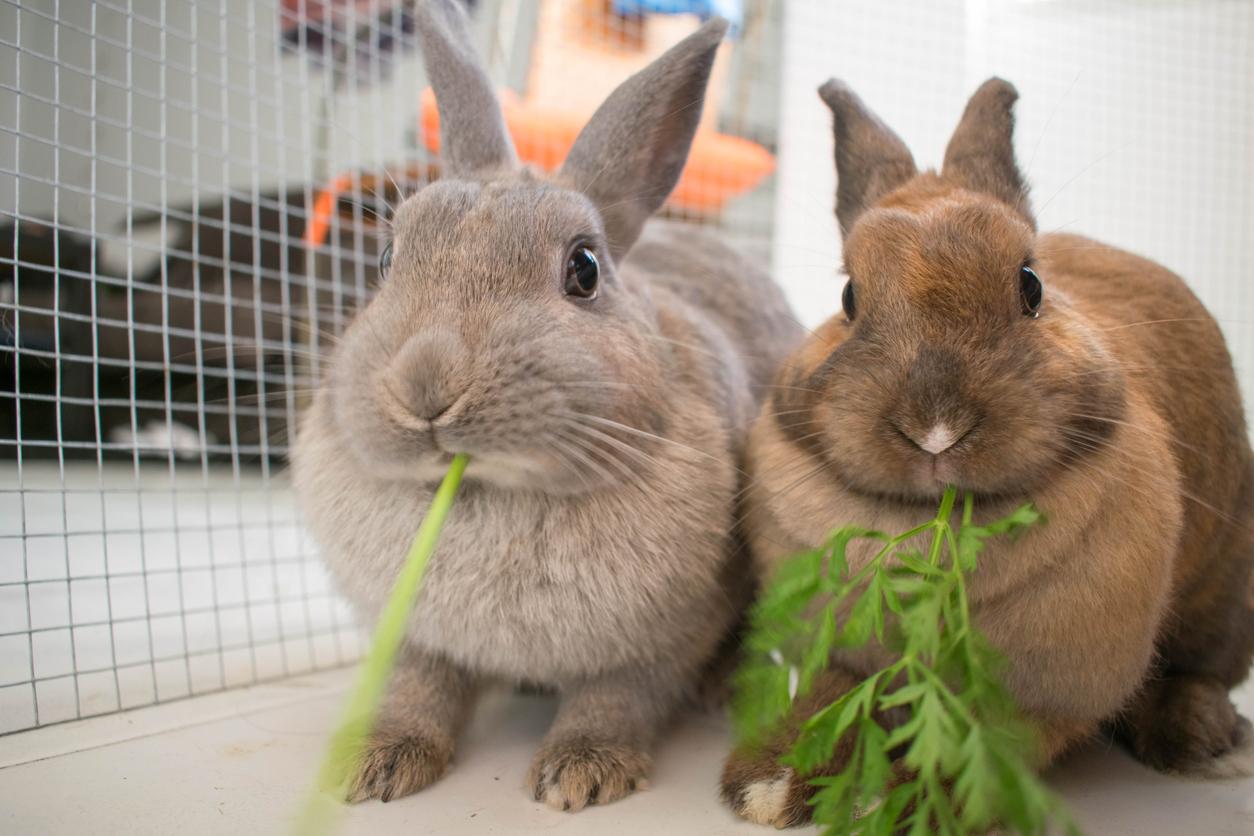 Rabbit diet advice video